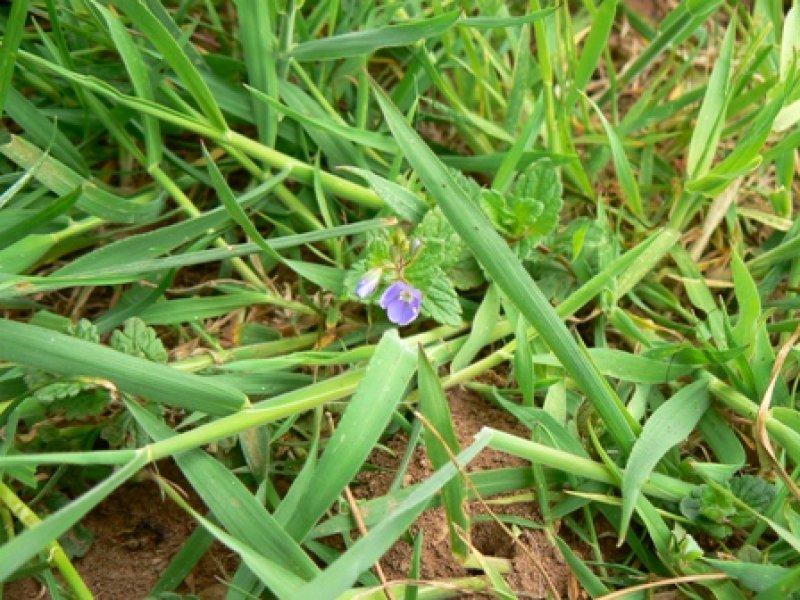 thyme-leafed-speedwell-1