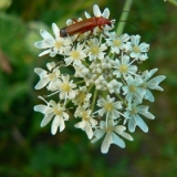 common-red-soldier-beetle-on-hogweed