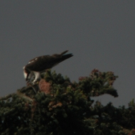male-osprey-2012
