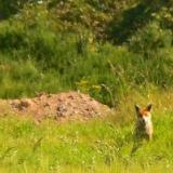 howling-fox