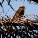 Yellow Billed Shrike