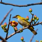 African Golden Oriole (female)