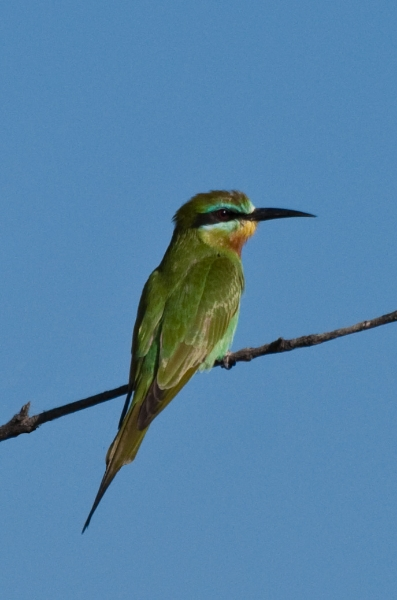 Blue Cheeked Bee-eater