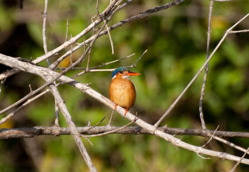 Malechite Kingfisher