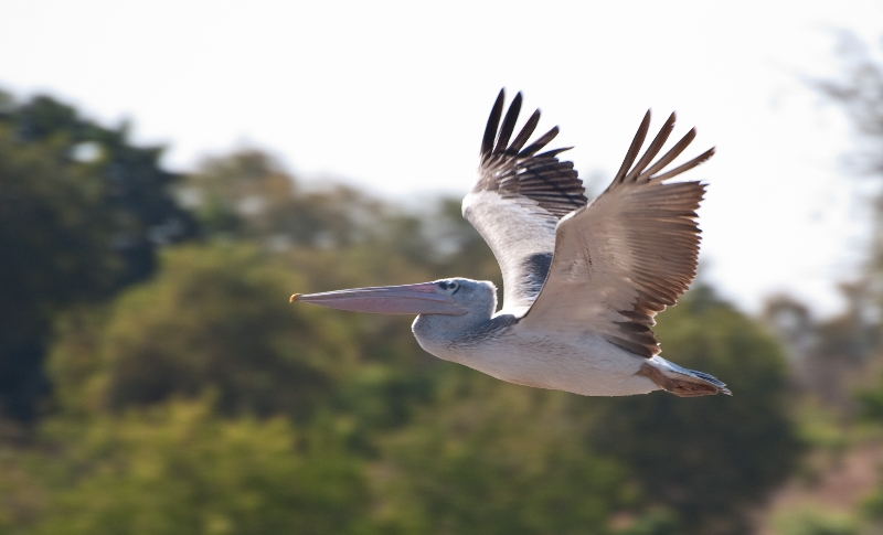 Pink Backed Pelican