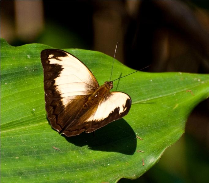 Papilio Nobicea ??