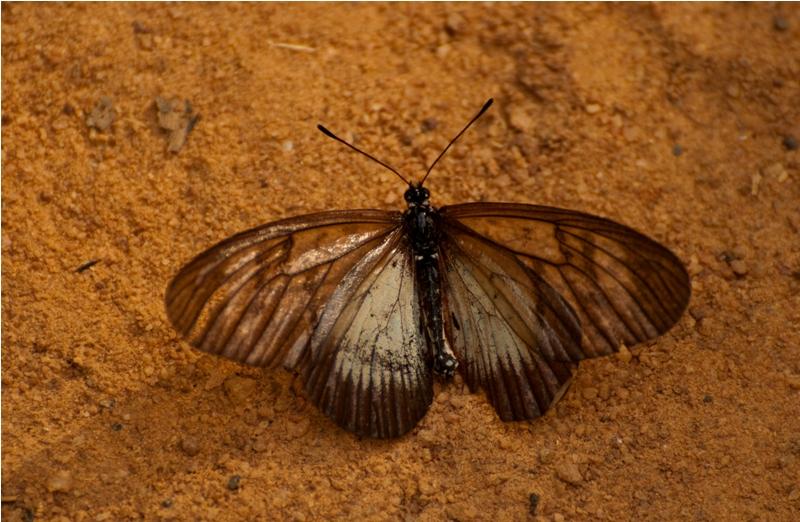 Area Lycoa male (worn)