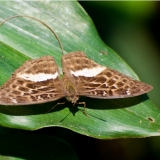 bebearia zonara female