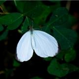 leptosia hybrida