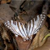 cyrestis camillus