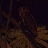 Fraser's Eagle-Owl