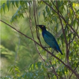 Splendid Glossy Starling