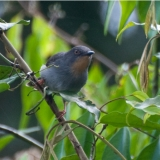 Sharpe's Apalis (female)