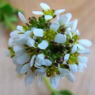 common-scurvy-grass
