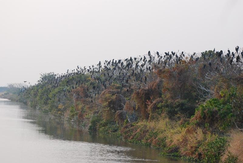 Cormorants by the thousand