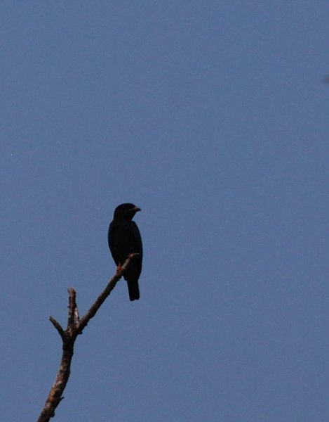Dollarbird