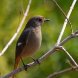 Daurian Redstart (female)