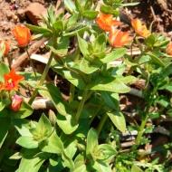 scarlet-pimpernel