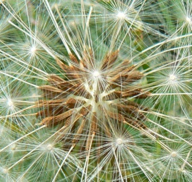 dandelion-seed-head-close-up