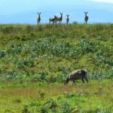 untroubled-deer
