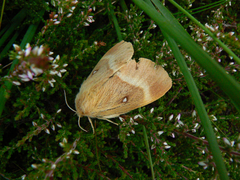 female-oak-eggar-moth