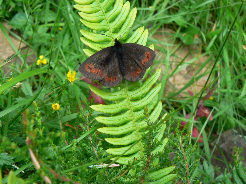 male-scotch-argus