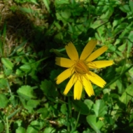 bristly-oxtongue