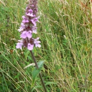 marsh-woundwort