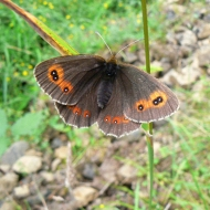 scotch-argus-male