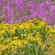 willowherb-and-ragwort