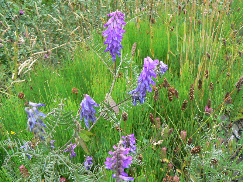 tufted-vetch