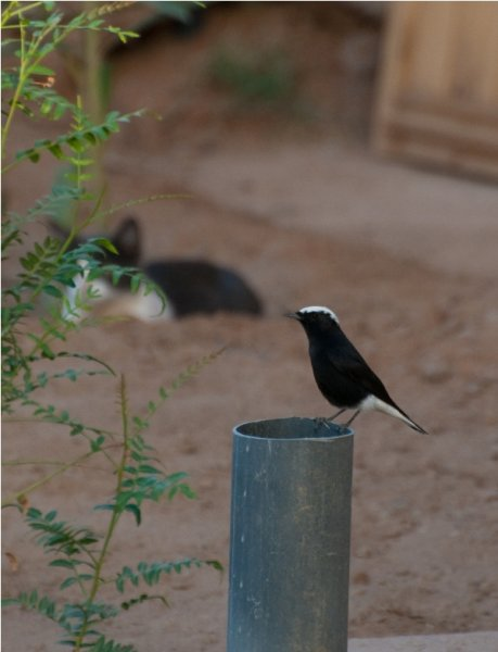 White Crowned Wheatear