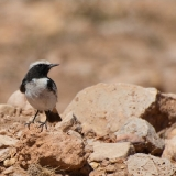 Red Rumped Wheatear