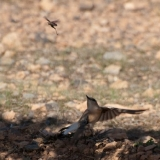 Wheatear hunting