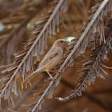 Desert Sparrow (female)