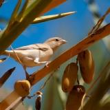 Desert Sparrow (female)