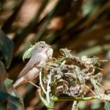 Sardinian Warbler (female)