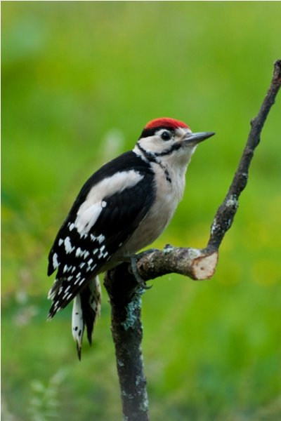 great-spotted-woodpecker-3