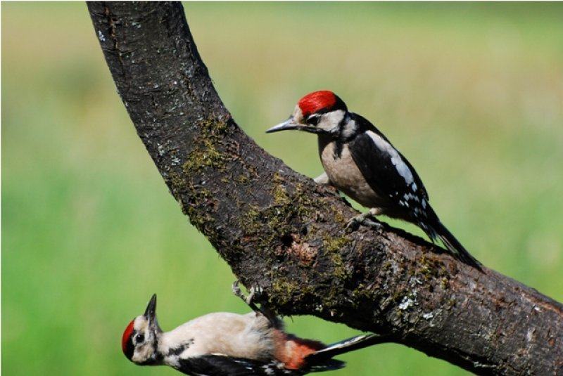 great-spotted-woodpecker-4
