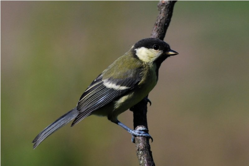 juv-great-tit-2