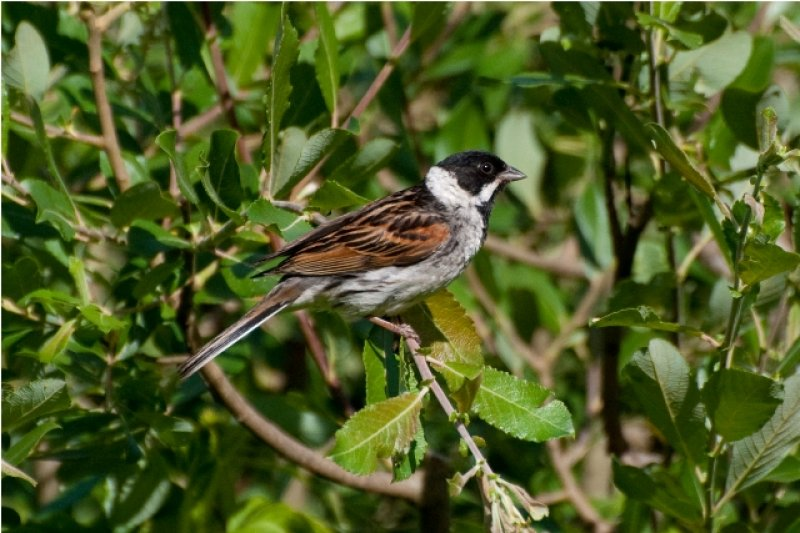 reed-bunting-1