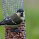 juv-great-tit-1