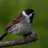 reed-bunting-3