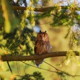 Long Eared Owl 1