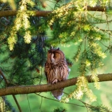 Long Eared Owl 3