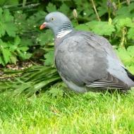 garden-wood-pigeon
