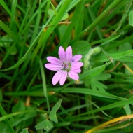 doves-foot-cranesbill