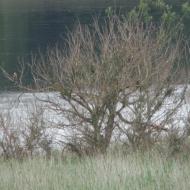 female-marsh-harrier