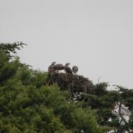 ospreys-2012