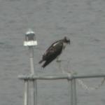 juv osprey 2
